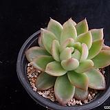 소후렌136|Echeveria agavoides Prolifera