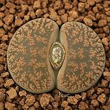 라89_ lesliei ssp. 