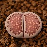 마3_ julii 菊長玉 × salicola Bacchus (가든실생교배종) 