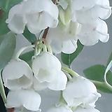 은방울나무(동일품배송 )|