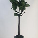 떡갈고무나무(동일품배송 )|Ficus elastica