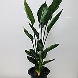 꽃피는극락조(3촉 동일품배송 )|