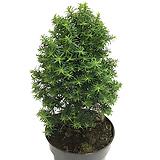 편백나무|