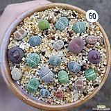리톱스모듬 (화분째배송) 60 Lithops