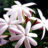 차이니즈자스민(꽃대중품)|