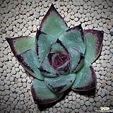 1114 킹제우스마리아(귀품)(속잎장부터 물들어요) Echeveria agavoides Maria