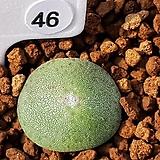 언스티 46 (Conophytum ernstii EVJ8512 Sandberg)|
