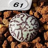 위트버젠스 RR714 61|Conophytum Wittebergense