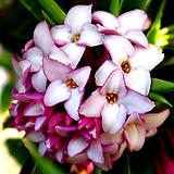 복륜무늬천리향(꽃대수형)|