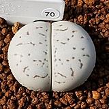 반질리 70|Conophytum vanzylii