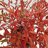 붉은빛 남천 노지월동 공기정화식물|