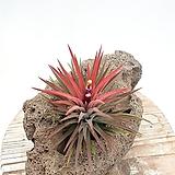 빨강물드는 이오난사 틸란 틸란드시아 공기정화식물 공중식물 행잉플랜트 행잉식물|