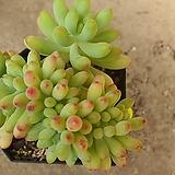 을려심철화11151 sedum pachyphyllum