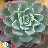 원종라라98(목대) Echeveria lala