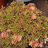 Aeonium  sedifolius