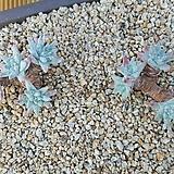 화이트그리니모듬 5두.4두 자연군생|Dudleya White gnoma(White greenii / White sprite)