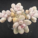 홍미인 1115 Pachyphytum ovefeum cv. momobijin
