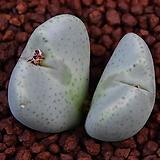 Conophytum cv 稚兒櫻 치아앵 266|