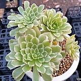 에오니움아이스 Aeonium canariense