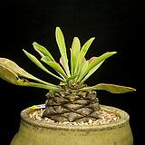 철갑환(Euphorbia bupleurifolia-11.15)|