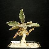 Euphorbia francoisii(유포르비아 프란코이시-11.15)|