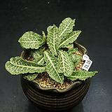 Euphorbia francoisii hybrid1(유포르비아-11.15)|