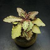 Euphorbia francoisii hybrid 2(유포르비아-11.15)|