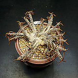 유포르비아 튜베리페라(Euphorbia cylindrifolia ssp.tuberifera-11.15)|