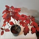 떡갈잎수국|Hydrangea macrophylla