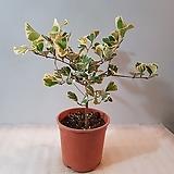 하트고무나무(단품)|Ficus elastica