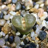 Conophytum verrucosum(코노 베루코숨11.15)|