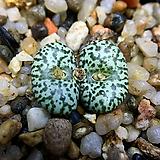 Conophytum obcordellum ursprungianum SB635-2두(코노피튬 우르스11.15)|Conophytum