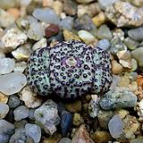 Conophytum obcordellum v.picturatum-3두(코노 옵코델룸 픽투라툼11.15)|