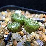 Conophytum ectypum cv. mabels fire-3두(적화-코노 엑티폼 마벨스파이어11.15)|