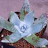 브리트니  사이즈좋아요 1167|DUDLEYA pulverulenta
