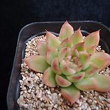 하나소후렌572|Echeveria agavoides Prolifera
