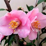 분홍향동백(외목수형*2)-동일품배송|