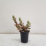 금황성/공기정화식물/반려식물/온누리 꽃농원|