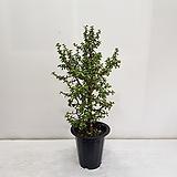 은행목/공기정화식물/반려식물/온누리 꽃농원|