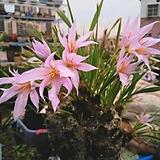 제로피타 에쿠이세토이데스 아프리카식물11167 