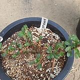 반데리에티에 아프리카식물11197 