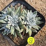 화이트그리니11187 Dudleya White gnoma(White greenii / White sprite)