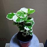 파비앙 소품 공기정화식물 15~25cm
