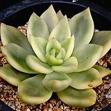 축송금뿌리튼튼68|Echeveria scaphophylla