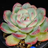 아이스핑크엣지91|Echeveria pink edge