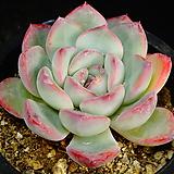 아이스핑크엣지10|Echeveria pink edge