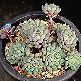 글로블로사교배종13|Echeveria globulosa