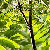 참죽나무,가중나무(실생2년특묘),같이가치농원
