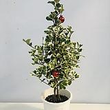 스윗하트고무나무|