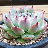 치와와묵은둥이 Echeveria chihuahuaensis